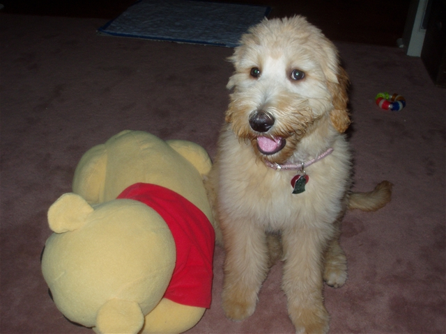 goldendoodle puppy pictures. Our Goldendoodle Puppies